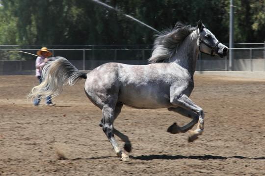 Kellogg Arabian